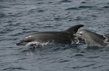 Dolphins in Gakveston Bay